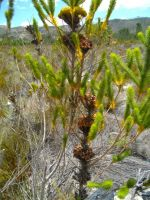 Berzelia albiflora storing seeds until the fire comes