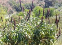 Melianthus major near a seasonal watercourse