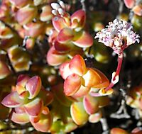 Crassula rupestris colourful leaf tips