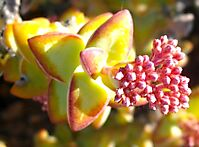 Crassula rupestris buds