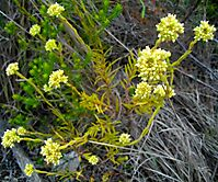 Crassula subulata in the Tradouw Pass