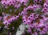 Erica melanthera flowers