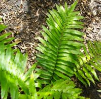 Blechnum capense in enough shade and moisture