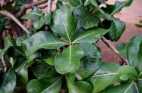 Adenium multiflorum leaves
