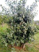 Ficus sycomorus young tree planted in Gauteng