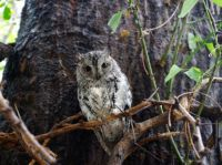 African scops owl  on its favourite perch