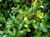 Kalanchoe sexangularis green leaves in shade