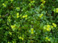Portulacaria afra leaves