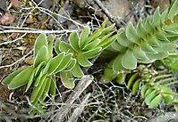 Crassula ciliata showing two leaf orientations