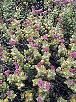 Crassula rupestris offering much