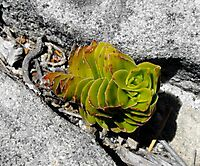 Crassula dejecta, a Table Mountain ascetic