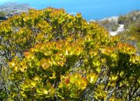 Leucadendron strobilinum on Table Mountain
