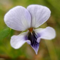 Viola decumbens flower