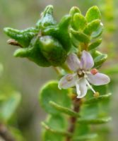Agathosma odoratissima flower and fruit