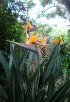Strelitzia reginae leaves angled like satellite dishes