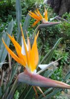 Strelitzia reginae white petals, not blue