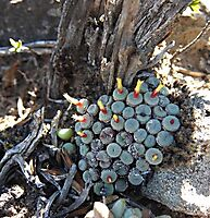 Conophytum truncatum subsp. truncatum young and old juxtaposed
