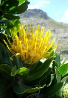 Leucospermum conocarpodendron, when all has gone well
