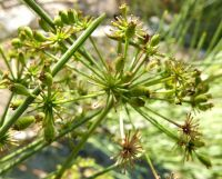 Anginon difforme, double umbels