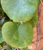 Dioscorea elephantipes old leaves