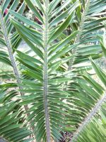 Encephalartos caffer leaves or fronds