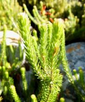 Erica quadrisulcata leaves