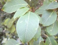 Ficus polita leaves