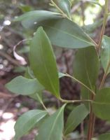 Maytenus oleoides leaves