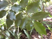 Nectaropetalum capense leaves