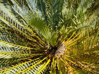 Encephalartos caffer after a dry season