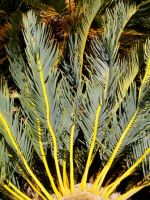 Encephalartos friderici-guilielmi leaves