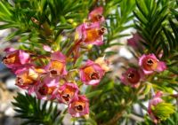 Erica taxifolia flowers