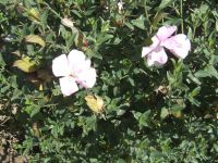 Barleria greenii flowering