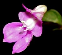 Disperis virginalis flower