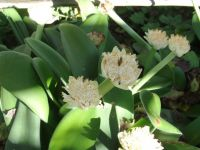 Haemanthus albiflos receiving pollinators
