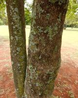 Catha edulis trunk