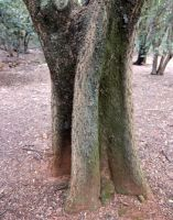 Ekebergia capensis trunk