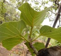 Ficus abutilifolia lower leaf surfaces
