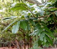 Millettia grandis leaves
