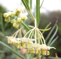 Gomphocarpus fruticosus buds and flowers