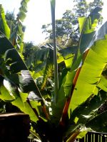 Ensete ventricosum leaves