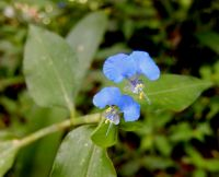 Commelina erecta