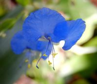 Commelina erecta flower