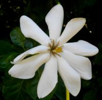 Gardenia thunbergia that can't count