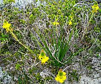 Bulbine lagopus maybe