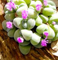Gibbaeum dispar flowering