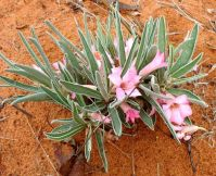 Adenium oleifolium known as ouheip