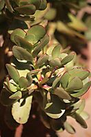 Crassula species, maybe ovata