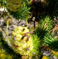 Erica sessiliflora fruit