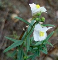 Nemesia fruticans leaves and sepals